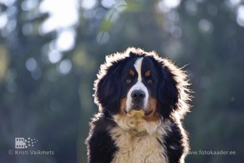berni alpi karjakoer lemmiklooma portreefoto