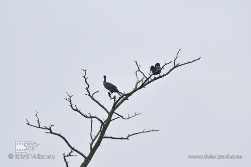 kura säär kormoranid leedu