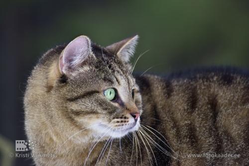 lemmikloomade fotograaf triibuline kass
