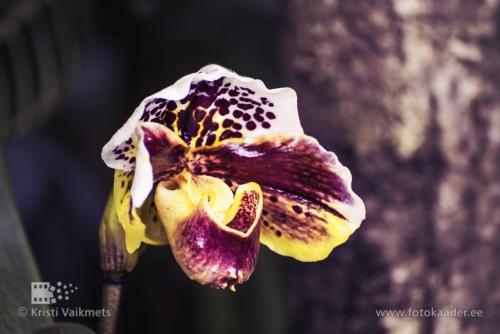 Tartu Ülikooli Botaanikaaed orhidee näitus Veenuseking pildistamine