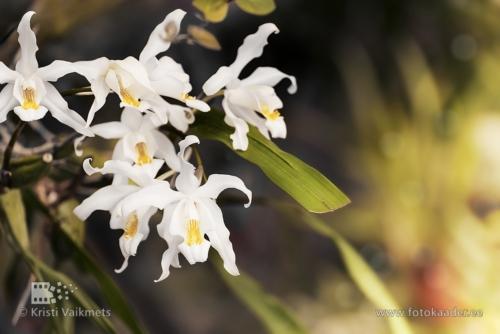 Tartu Ülikooli Botaanikaaed orhidee näitus toote pildistamine fotokaader