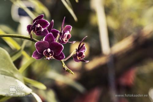 Tartu Ülikooli Botaanikaaed orhidee toote pildistamine  portfoolio fotokaader