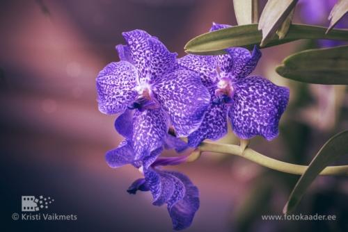 Tartu Ülikooli Botaanikaaed orhidee toote pildistamine kodulehe portfoolio fotokaader