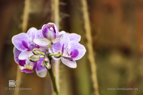 Tartu Ülikooli Botaanikaaed orhidee toote pildistamine kodulehe portfoolio jaoks fotokaader