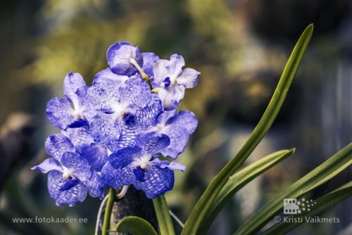 Tartu Ülikooli Botaanikaaed orhidee tootepilt fototöötlusfotokaader