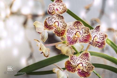 Tartu Ülikooli Botaanikaaed orhidee turunduspilt kodulehe jaoks fotokaader